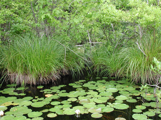 Pond plants needed forums forums off topic forum fun for Pond grass plants